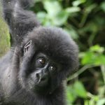 baby gorilla virunga 2018